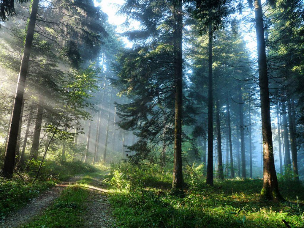 Sunlit, foggy forest