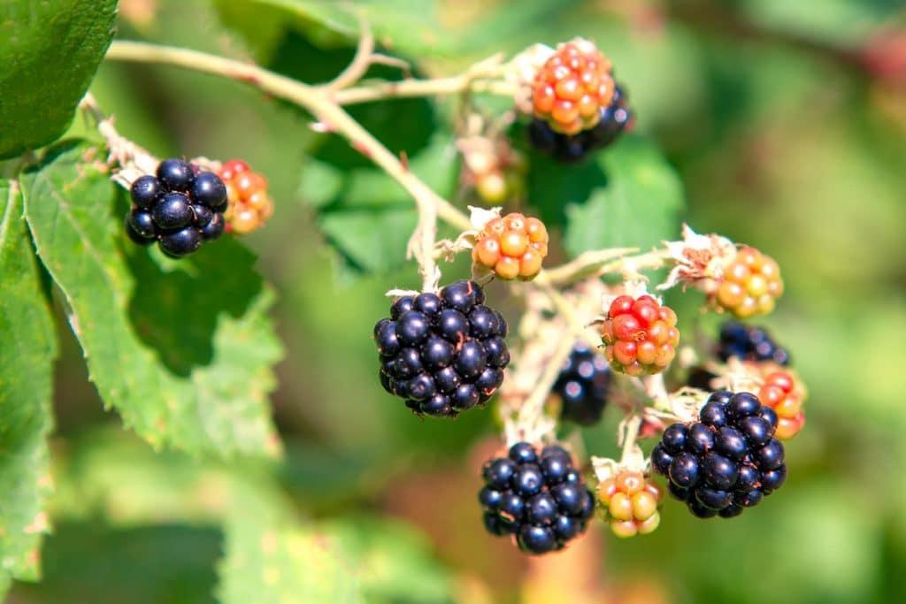 Himalayan blackberry.
