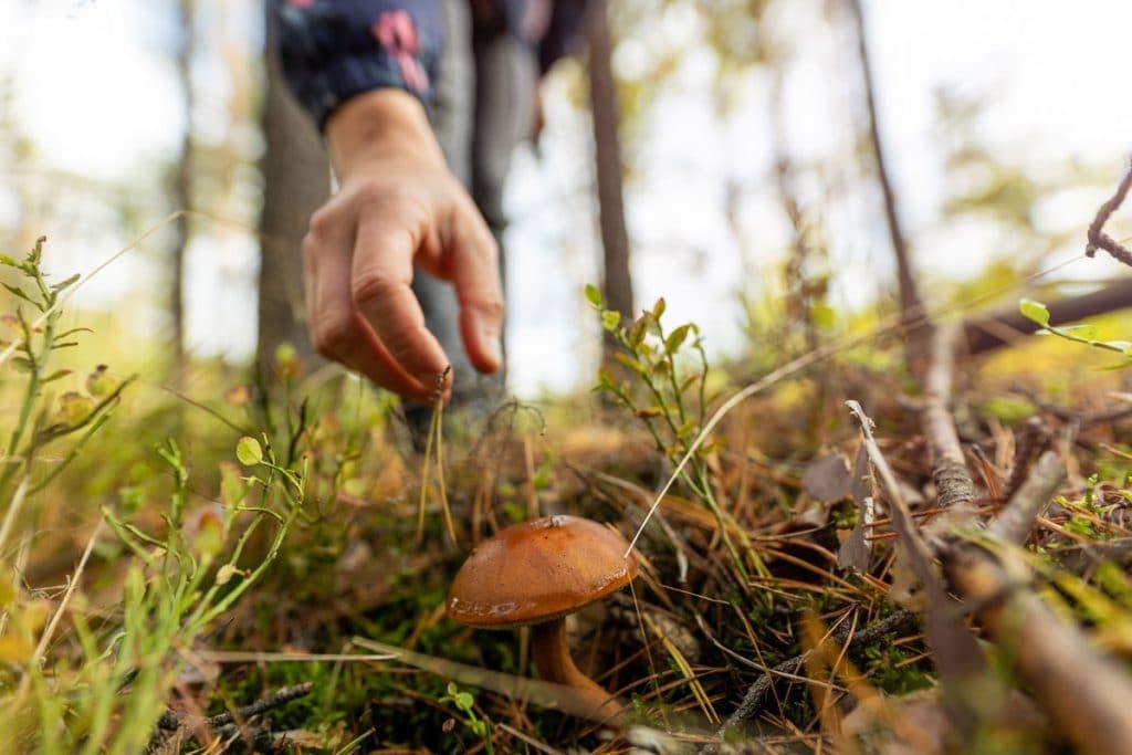 Picking wild mushroom